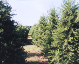 An image of a row of Wright's Tree farm Christmas trees
