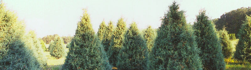 Picture of Wright's Tree Farm trees