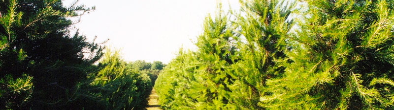 Picture of Wright's Tree Farm row of trees